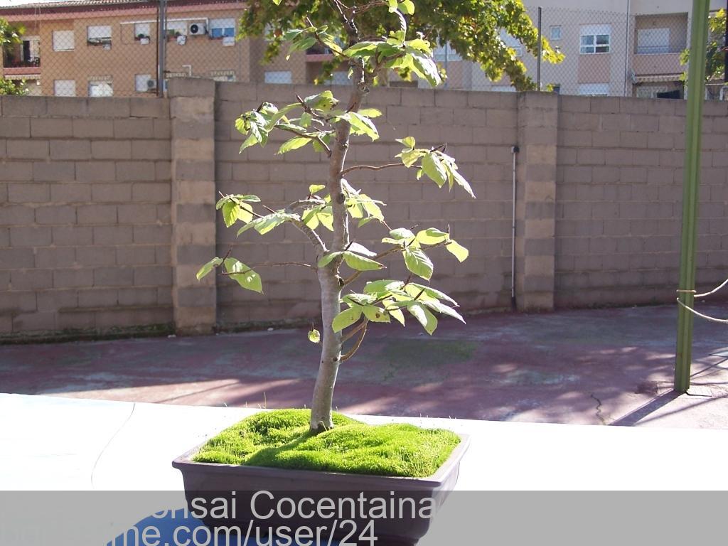 Bonsai haya fagus sylvatica assoc bonsai cocentaina - Bonsai de haya ...