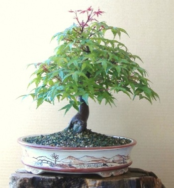 Bonsai acer - Celtis