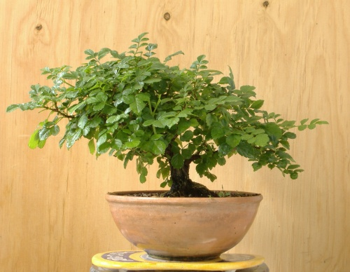 Bonsai Prebonsai tecomaria capensis - Celtis