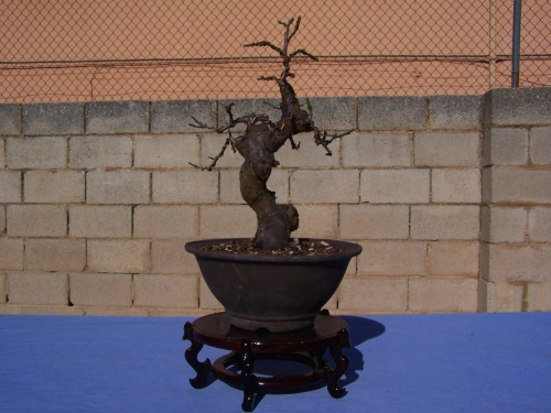 Bonsai Albaricoquero - Prunus Mume - Assoc. Bonsai Cocentaina