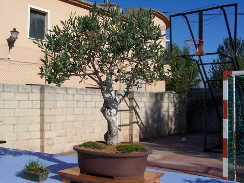 Bonsai Olivo - Olea Europea - Assoc. Bonsai Cocentaina