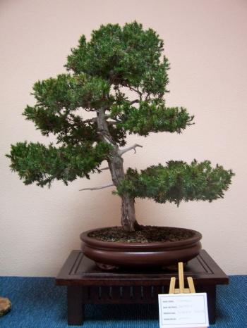 Bonsai Enebro - Juniperus estricta - Assoc. Bonsai Muro