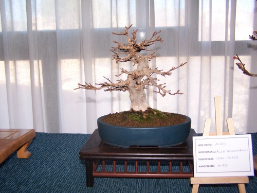 Bonsai Acer Burguerianum - Auro - Assoc. Bonsai Muro