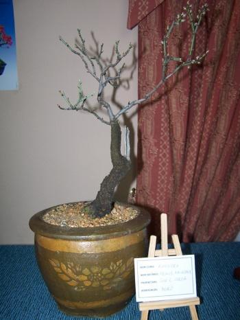 Bonsai Almendro - Prunus Amigdalis - Assoc. Bonsai Muro