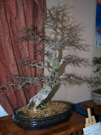 Bonsai Olmo Chino - Orm xinés - Ulmus Parvifolia - Assoc. Bonsai Muro