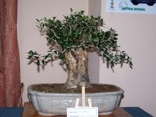 Bonsai Olivera - Olea europea - Assoc. Bonsai Muro