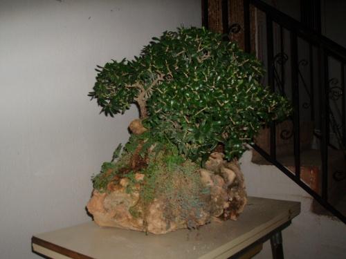 Bonsai Bosque de olivos en roca (olea silvestris) - Assoc. Bonsai Muro