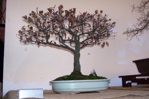 Bonsai Ciruelo Rojo - Prunus Pisardii - AVBONSAI