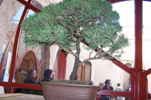 Bonsai Ciprés - Cupresus Macrocarpa - AVBONSAI