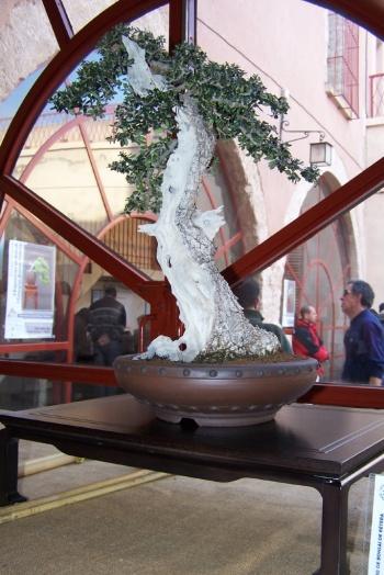 Bonsai Acebuche Ullastre - Olea Europaea - AVBONSAI