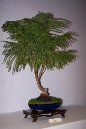 Bonsai Araucaria - Araucaria Araucana - cbvillena
