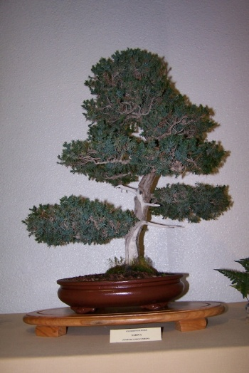 Bonsai Sabina - Juniperus Procumbens - cbvillena