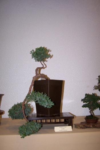 Bonsai Enebro - Juniperus Oxicedrus - cbvillena