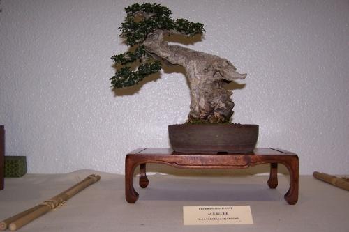 Bonsai Acebuche - Olea Europaea Silvestrys - cbvillena
