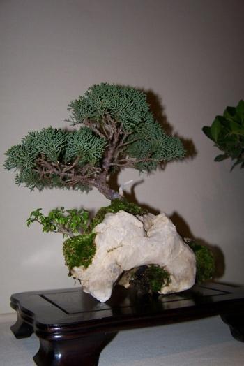 Bonsai Sabina - Juniperus Chinensis - cbvillena