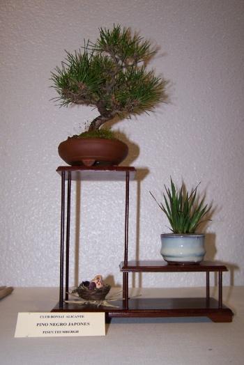 Bonsai Pino Negro Japonés - Pinus Thumbergu - cbvillena
