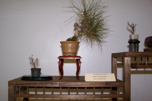 Bonsai Pino - Pinus Densiflora - cbvillena