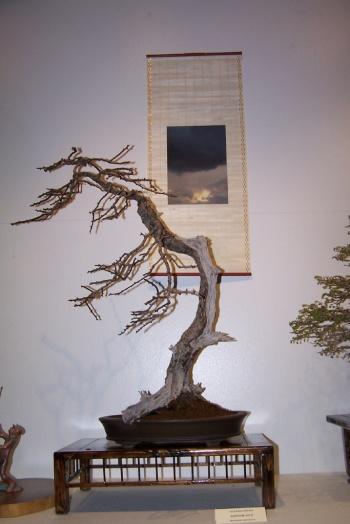 Bonsai Espino Blanco - Crateagus Monogyna - cbvillena