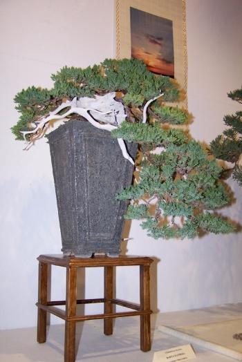 Bonsai Juniperus Procumbens en Villena ( Sabina ) - cbvillena