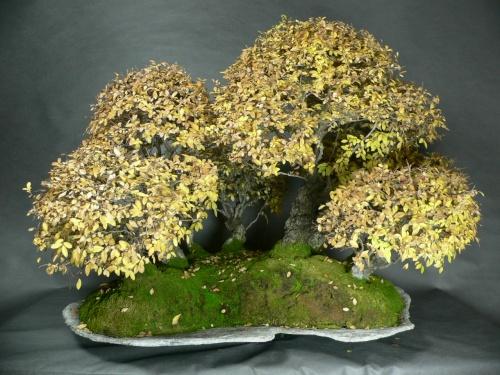 Bonsai Bosque de zelkova corticosa - bonsaipaterna