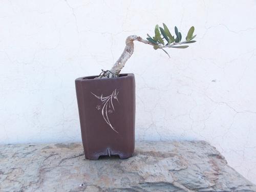 Bonsai Olivo2 - Pedroboticario