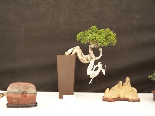 Bonsai Sabina - Juniperus sabina - CBALICANTE