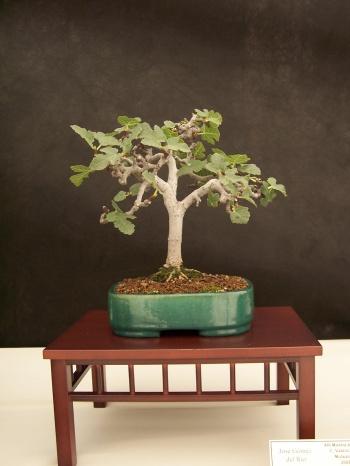 Bonsai Higuera - Figuera - Ficus Carica - CBALICANTE