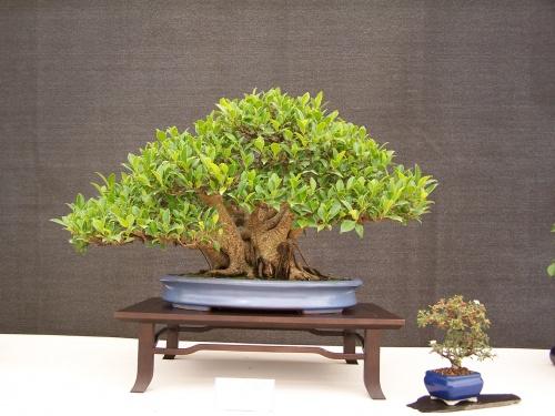 Bonsai Ficus Retusa - CBALICANTE
