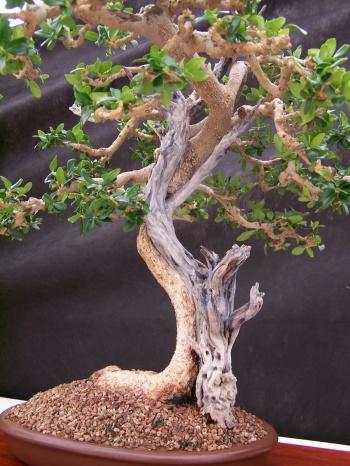 Bonsai Acebuche - Olea Europaea - CBALICANTE