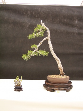 Bonsai Pino - Pinus Sylvertris - CBALICANTE