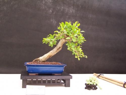 Bonsai Granado - Punica Granatum - CBALICANTE