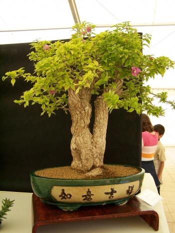 Bonsai Buganvilla - Bougainvilea Spectabilis - CBALICANTE