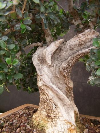 Bonsai Olivo bonsai Muro ( Olivera - Olea Europaea ) - CBALICANTE