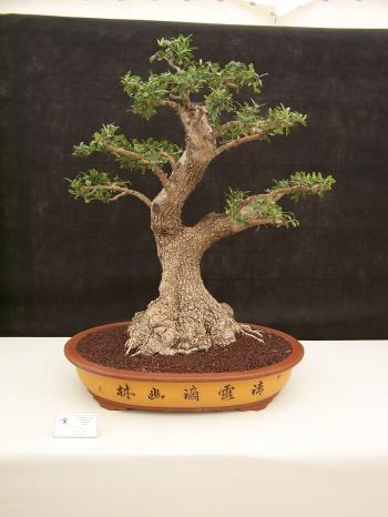 Bonsai Acebuche - Olivera Borda - Olea Europaea - CBALICANTE