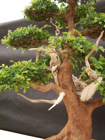 Bonsai Olmo Chino - Ulmus Parvifolia ( Tronco ) - CBALICANTE