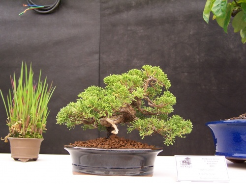 Bonsai Enebro del Club Bonsai Segorbe - CBALICANTE