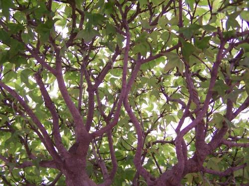 Bonsai Arce Japonés - Acer Buergerianum ( Ramas ) - CBALICANTE