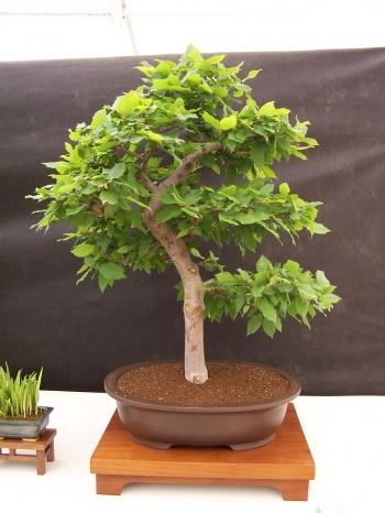 Bonsai Carpe - Carpinus Betulus - CBALICANTE