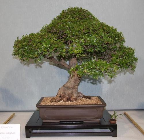 Bonsai 875 - bonsaipaterna