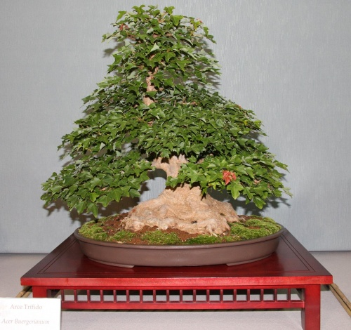 Bonsai 879 - bonsaipaterna
