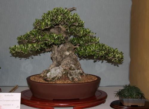 Bonsai 883 - bonsaipaterna