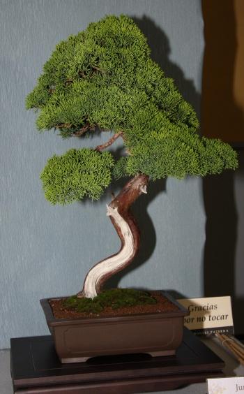 Bonsai 899 - bonsaipaterna