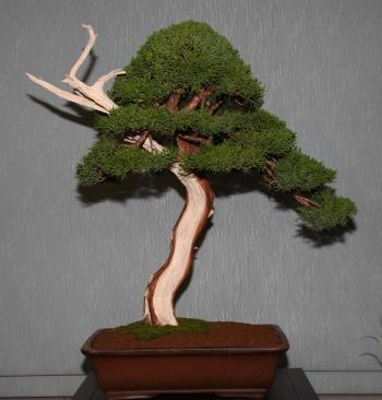 Bonsai 903 - bonsaipaterna