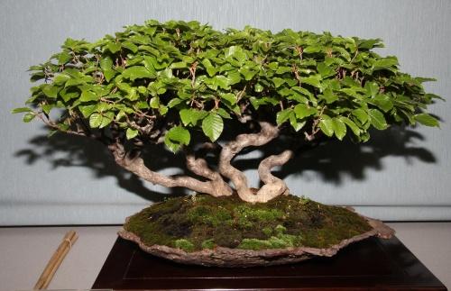 Bonsai 907 - bonsaipaterna