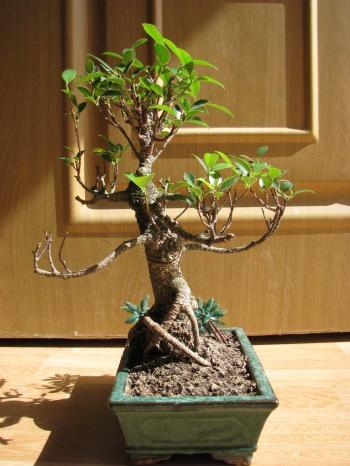 Bonsai Ficus Retusa - miguelangel