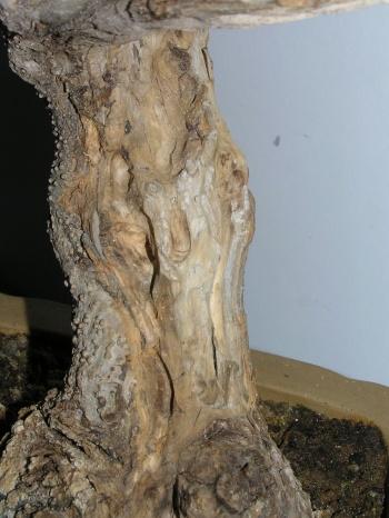 Bonsai Olivo3 - Pedroboticario