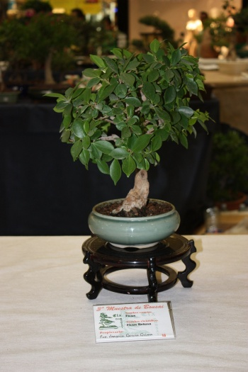 Bonsai Ficus Retusa - ilicitano