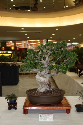 Bonsai Ficus - ilicitano
