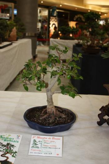Bonsai Ficus Macrophila - ilicitano