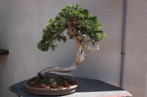 Bonsai 1191 - Fran Rives